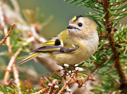 Goldcrest photographed at St Peter Port [SPP] on 3/4/2013. Photo: © Mike Cunningham