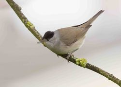 Blackcap photographed at Mont Marche on 8/4/2013. Photo: © Adrian Gidney