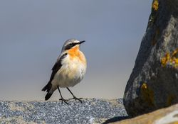 Wheatear photographed at Jaonneuse [JAO] on 9/4/2013. Photo: © David Du jardin