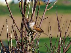 Whitethroat photographed at Pleinmont [PLE] on 15/4/2013. Photo: © Tracey Henry