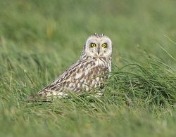 Short-eared Owl photographed at Pleinmont [PLE] on 15/4/2013. Photo: © Royston Carr�