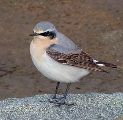Wheatear photographed at Fort Doyle [DOY] on 14/4/2013. Photo: © Mark Lawlor
