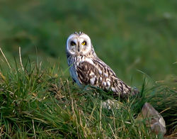 Short-eared Owl photographed at Pleinmont [PLE] on 15/4/2013. Photo: © Mike Cunningham
