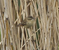 Sedge Warbler photographed at Grands Marais/Pre [PRE] on 17/4/2013. Photo: © Karen Jehan