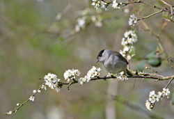 Blackcap photographed at Trinity [TRI] on 17/4/2013. Photo: © Mike Cunningham