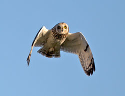 Short-eared Owl photographed at Pleinmont [PLE] on 19/4/2013. Photo: © Mike Cunningham