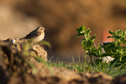 Wheatear photographed at Pleinmont [PLE] on 20/4/2013. Photo: © Rod Ferbrache