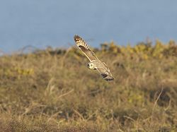 Short-eared Owl photographed at Pleinmont [PLE] on 20/4/2013. Photo: © Royston Carr�