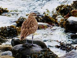 Whimbrel photographed at Grandes Havres [GHA] on 24/4/2013. Photo: © Tracey Henry