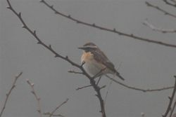 Whinchat photographed at Rue des Bergers on 25/4/2013. Photo: © Dave Andrews