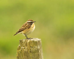 Whinchat photographed at Rue des Bergers [BER] on 25/4/2013. Photo: © Anthony Loaring