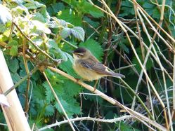 Sedge Warbler photographed at Grands Marais/Pre [PRE] on 27/4/2013. Photo: © Tracey Henry