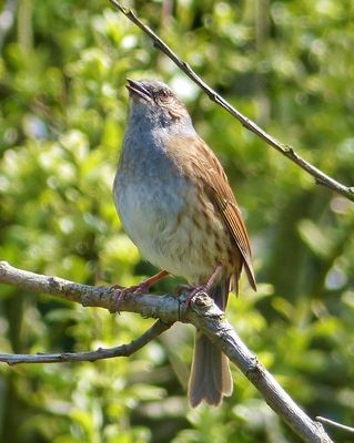 Dunnock photographed at Grands Marais/Pre [PRE] on 27/4/2013. Photo: © Tracey Henry