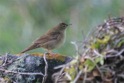 Grasshopper Warbler photographed at Pleinmont [PLE] on 28/4/2013. Photo: © Dave Andrews