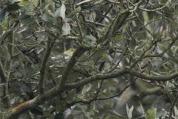 Wood Warbler photographed at Saumarez Park [SAU] on 28/4/2013. Photo: © Dave Andrews
