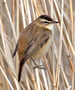 Sedge Warbler photographed at Grands Marais/Pre [PRE] on 29/4/2013. Photo: © Mike Cunningham