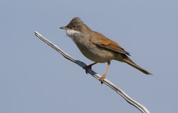 Whitethroat photographed at Pleinmont [PLE] on 4/5/2013. Photo: © Dan Scott
