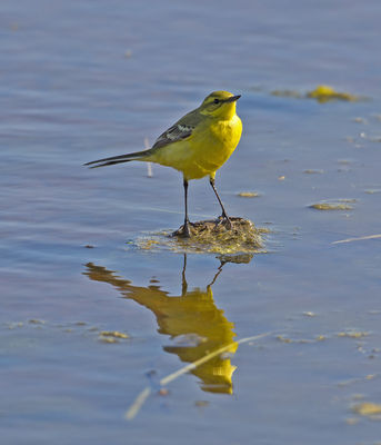 Yellow Wagtail photographed at Claire Mare [CLA] on 9/5/2013. Photo: © Mike Cunningham