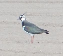 Lapwing photographed at Rue des Hougues, STA [H04] on 16/5/2013. Photo: © Wayne Turner