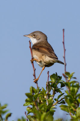 Whitethroat photographed at Pleinmont [PLE] on 18/5/2013. Photo: © Rod Ferbrache