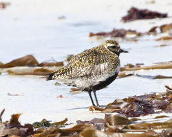 Golden Plover photographed at Jaonneuse [JAO] on 17/5/2013. Photo: © Cindy  Carre