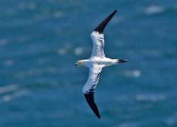 Gannet photographed at Jaonneuse [JAO] on 23/5/2013. Photo: © Mike Cunningham