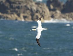 Gannet photographed at Jaonneuse [JAO] on 23/5/2013. Photo: © Royston Carr�