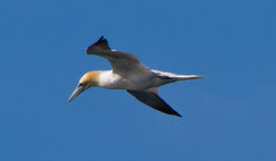 Gannet photographed at Chouet Hide [CHH] on 23/5/2013. Photo: © Dan Scott