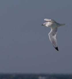 Kittiwake photographed at Chouet Hide [CHH] on 23/5/2013. Photo: © Dan Scott