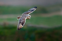 Short-eared Owl photographed at Pleinmont [PLE] on 11/4/2013. Photo: © steve levrier