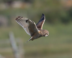 Short-eared Owl photographed at Colin Best NR [CNR] on 28/5/2013. Photo: © Mike Cunningham