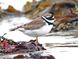 Ringed Plover photographed at L'Eree [LER] on 28/5/2013. Photo: © Mike Cunningham