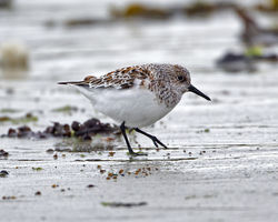 Sanderling photographed at L'Eree [LER] on 28/5/2013. Photo: © Mike Cunningham