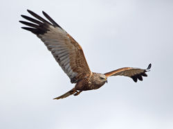 Marsh Harrier photographed at Claire Mare [CLA] on 28/5/2013. Photo: © Mike Cunningham
