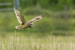 Short-eared Owl photographed at Colin Best NR [CNR] on 29/5/2013. Photo: © Anthony Loaring