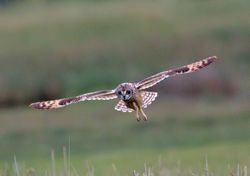 Short-eared Owl photographed at Colin Best NR [CNR] on 29/5/2013. Photo: © Mike Cunningham