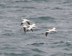Gannet photographed at Chouet Hide [CHH] on 28/5/2013. Photo: © Royston Carr�