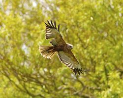 Marsh Harrier photographed at Rue des Bergers [BER] on 28/5/2013. Photo: © Royston Carr�