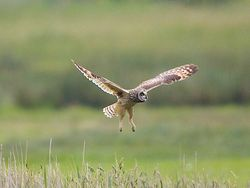 Short-eared Owl photographed at Colin Best NR [CNR] on 30/5/2013. Photo: © Royston Carr�