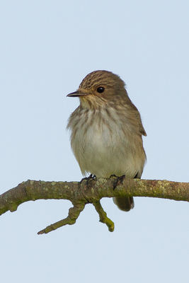 Spotted Flycatcher photographed at Fort Saumarez [FSA] on 31/5/2013. Photo: © Rod Ferbrache