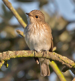 Spotted Flycatcher photographed at Fort Saumarez [FSA] on 31/5/2013. Photo: © Mike Cunningham