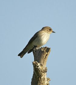 Spotted Flycatcher photographed at Fort Saumarez [FSA] on 31/5/2013. Photo: © Royston Carr�