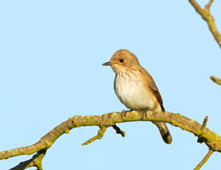 Spotted Flycatcher photographed at Fort Saumarez [FSA] on 31/5/2013. Photo: © Anthony Loaring