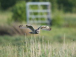 Short-eared Owl photographed at Colin Best NR [CNR] on 1/6/2013. Photo: © Royston Carr�