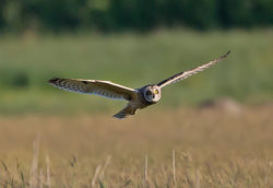 Short-eared Owl photographed at Colin Best NR [CNR] on 31/5/2013. Photo: © Mike Cunningham