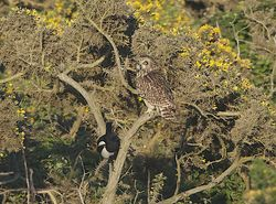 Short-eared Owl photographed at Colin Best NR [CNR] on 3/6/2013. Photo: © Royston Carr�