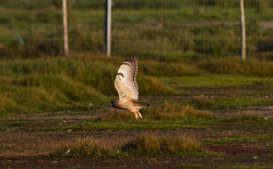 Short-eared Owl photographed at Colin Best NR [CNR] on 3/6/2013. Photo: © Dan Scott