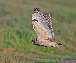 Short-eared Owl photographed at Colin Best NR [CNR] on 3/6/2013. Photo: © Mike Cunningham