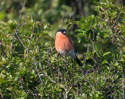 Bullfinch photographed at South Coast Cliffs on 5/6/2013. Photo: © Mike Cunningham