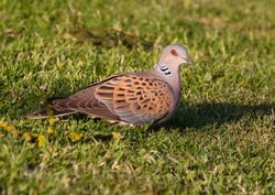 Turtle Dove photographed at Select location on 8/6/2013. Photo: © Adrian Gidney